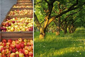 Apfelwanderung zur Erntezeit - Obsthof am Steinberg