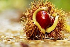 Stachelige Schönheit - Die kulinarische Wanderung in die Welt der Esskastanie